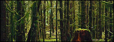 Temperate rainforest. Olympic National Park (Panoramic color)