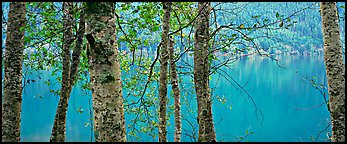 Tranquil trees and Crescent Lake. Olympic National Park (Panoramic color)