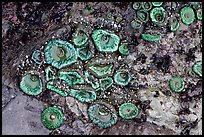 Green anemones on rock at low tide. Olympic National Park, Washington, USA. (color)