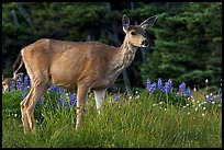Deer in meadow with lupine. Olympic National Park, Washington, USA.
