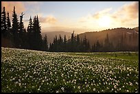 Avalanche lilies at sunset. Olympic National Park ( color)
