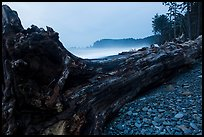 Driftwood tree at dusk, Rialto Beach. Olympic National Park ( color)