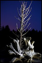Driftwood and dead tree at night, Rialto Beach. Olympic National Park ( color)
