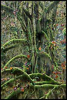 Moss-covered maples in autumn, Hall of Mosses. Olympic National Park ( color)