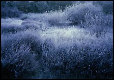 Grasses and shrubs with early morning frost. Pinnacles National Park ( color)