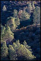 Trees and Mediterranean chaparral. Pinnacles National Park ( color)