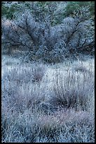 Frozen grasses and shrubs. Pinnacles National Park, California, USA. (color)