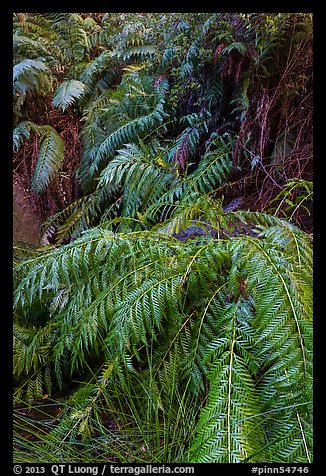 Ferns below Moses Spring. Pinnacles National Park, California, USA.