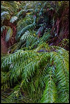 Ferns below Moses Spring. Pinnacles National Park, California, USA. (color)