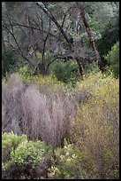 Riparian vegetation in early spring. Pinnacles National Park, California, USA. (color)