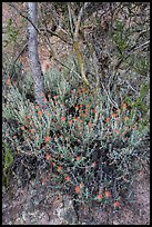 Orange flowers, trees, and cliff. Pinnacles National Park ( color)