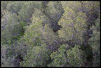 Newly leafed trees from above. Pinnacles National Park ( color)