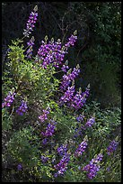 Lupine close-up. Pinnacles National Park ( color)