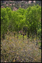 Shrubs, cottonwoods, and oaks in the spring. Pinnacles National Park ( color)