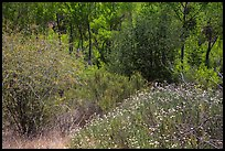 Wildflowers, shrubs, cottonwoods, in the spring. Pinnacles National Park, California, USA. (color)