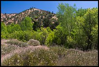 Wildflowers and riparian habitat in the spring. Pinnacles National Park ( color)