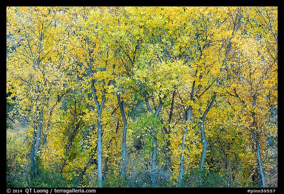 Cottonwoods in autumn along Chalone Creek. Pinnacles National Park, California, USA.
