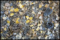 Ground view in autumn with pine cones and fallen cottonwood leaves. Pinnacles National Park, California, USA.