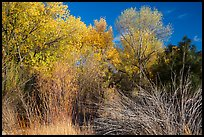 Shrubs and trees in autumn against blue sky, Bear Valley. Pinnacles National Park, California, USA.