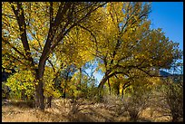 Group of cottonwoods trees in autumn. Pinnacles National Park, California, USA.