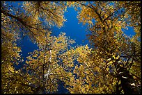 Looking up trees in autumn foliage. Pinnacles National Park, California, USA.