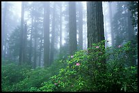 Rododendrons, tall coast redwoods, and fog, Del Norte Redwoods State Park. Redwood National Park ( color)