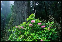 Rododendrons in bloom and thick redwood tree, Del Norte Redwoods State Park. Redwood National Park ( color)