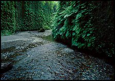 Narrow Fern Canyon with stream and walls covered with ferms, Prairie Creek Redwoods State Park. Redwood National Park ( color)
