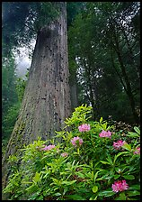 Rhododendron flowers at base of large redwood tree, Del Norte Redwoods State Park. Redwood National Park ( color)