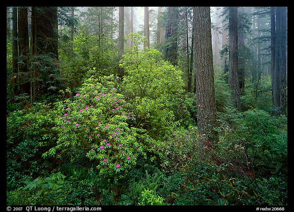 Rododendrons in bloom in redwood grove, Del Norte Redwoods State Park. Redwood National Park (color)