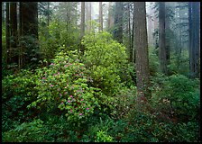 Rododendrons in bloom in redwood grove, Del Norte Redwoods State Park. Redwood National Park ( color)
