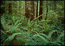 Ferms and trees in  spring, Del Norte Redwoods State Park. Redwood National Park ( color)