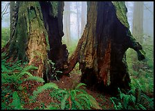 Hollowed redwood in fog, Del Norte Redwoods State Park. Redwood National Park ( color)