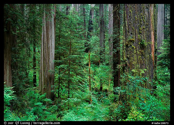 Old-growth redwood forest, Howland Hill, Jedediah Smith Redwoods State Park. Redwood National Park (color)