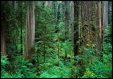 Old-growth redwood forest, Howland Hill, Jedediah Smith Redwoods State Park. Redwood National Park ( color)