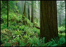 Ferns and trunks, foggy forest, Del Norte Redwoods State Park. Redwood National Park ( color)