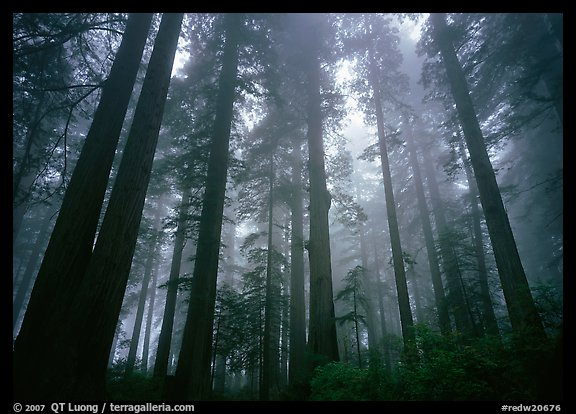 Tall coast redwood trees (Sequoia sempervirens) in fog, Lady Bird Johnson Grove. Redwood National Park (color)