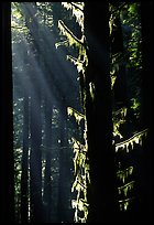 Moss and backlighted branches. Redwood National Park ( color)