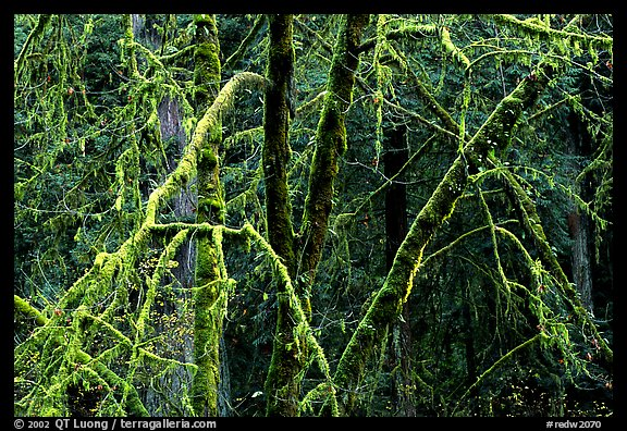 Alder and mosses. Redwood National Park (color)