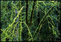 Alder and mosses. Redwood National Park ( color)