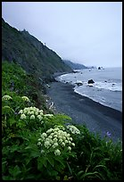 Wildflowers and beach with black sand in foggy weather, Del Norte Coast Redwoods State Park. Redwood National Park ( color)