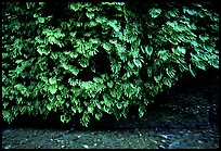 Fern-covered wall, Fern Canyon, Prairie Creek Redwoods State Park. Redwood National Park ( color)
