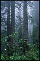 Redwood and rododendron trees in fog, Del Norte Redwoods State Park. Redwood National Park ( color)
