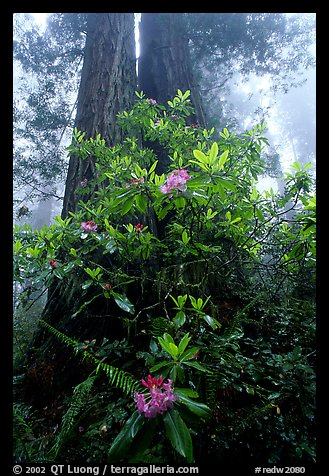 Rododendrons at  base of twin redwood trees, Del Norte. Redwood National Park, California, USA.