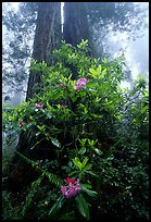 Rododendrons at base of twin redwood trees, Del Norte Redwoods State Park. Redwood National Park, California, USA.