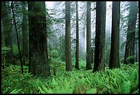 Ferns, redwood forest, and fog, Del Norte Redwoods State Park. Redwood National Park ( color)