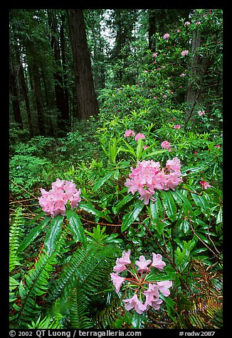 Rhodoendron flowers after  rain, Del Norte. Redwood National Park, California, USA.