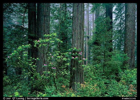 Rododendrons, redwoods, and fog, Del Norte. Redwood National Park, California, USA.