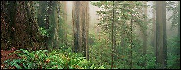 Ferns and trees in fog. Redwood National Park (Panoramic color)