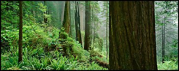 Misty forest and ferns. Redwood National Park (Panoramic color)